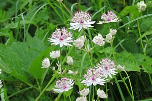 Astrantia major (Apiaceae)