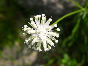 Astrantia minor (Apiaceae)