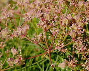 Cachrys pungens (Apiaceae)