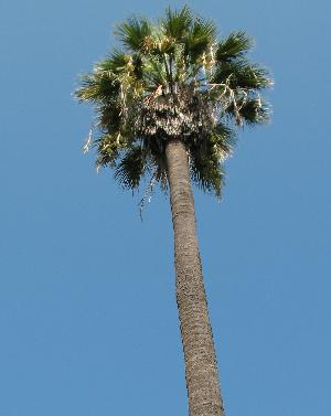 Washingtonia filifera (Arecaceae)