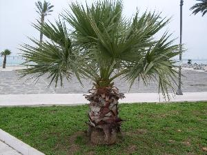 Washingtonia robusta (Arecaceae)