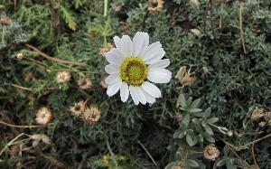 Anthemis aetnensis (Asteraceae)