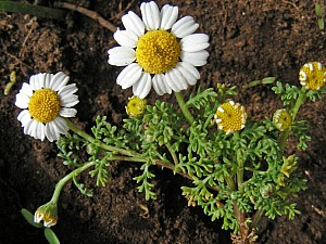 Anthemis secundiramea (Asteraceae)