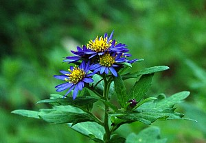 Aster ageratoides (Asteraceae)