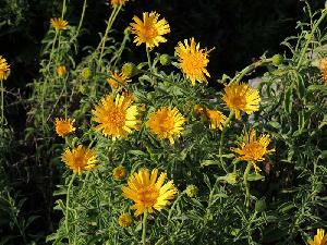 Buphthalmum inuloides (Asteraceae)