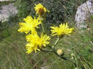 Crepis chondrilloides (Asteraceae)