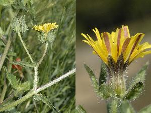 Helminthotheca echioides (Asteraceae)