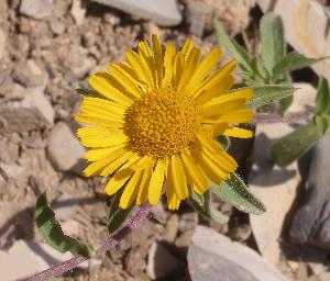 Pallenis spinosa (Asteraceae)