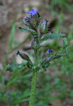 Anchusa formosa (Boraginaceae)