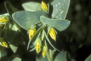 Cerinthe minor (Boraginaceae)