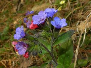 Pulmonaria officinalis (Boraginaceae)
