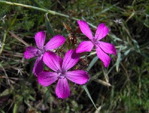 Dianthus balbisii (Caryophyllaceae)