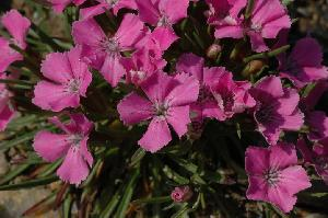 Dianthus glacialis (Caryophyllaceae)