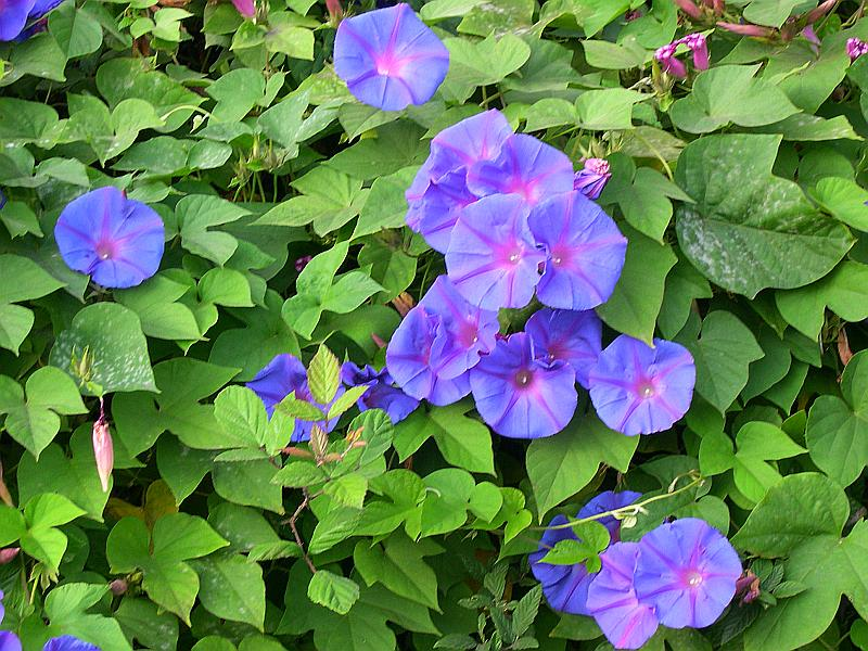 Ipomoea Indica  id 22877