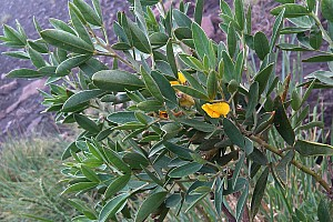 Cytisus aeolicus (Fabaceae)