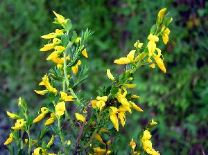 Genista anglica (Fabaceae)