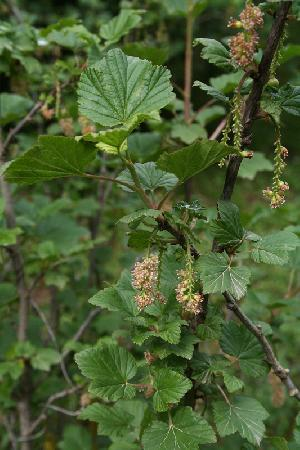 Ribes multiflorum (Grossulariaceae)