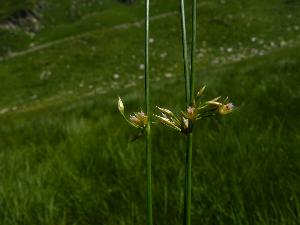 Juncus filiformis (Juncaceae)