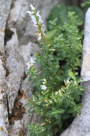 Clinopodium album (Lamiaceae)