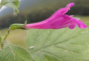 Clinopodium grandiflorum (Lamiaceae)