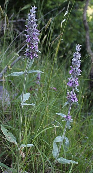 Stachys germanica (Lamiaceae)