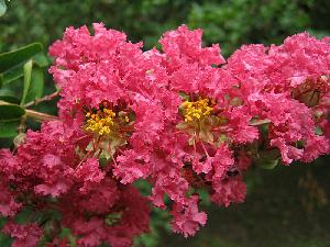 Lagerstroemia indica (Lythraceae)