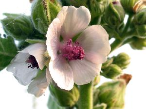 Althaea officinalis (Malvaceae)