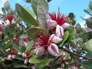 Acca sellowiana (Myrtaceae)