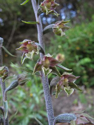 Epipactis microphylla (Orchidaceae)
