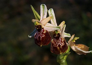 Ophrys exaltata (Orchidaceae)