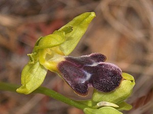 Ophrys mirabilis (Orchidaceae)