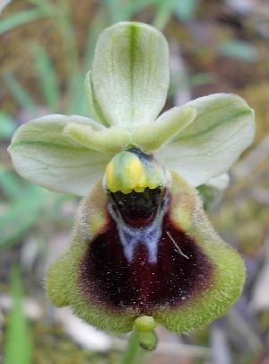 Ophrys normanii (Orchidaceae)
