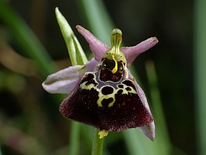 Ophrys pollinensis (Orchidaceae)