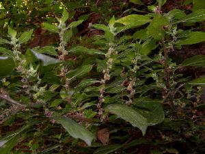 Parietaria officinalis (Urticaceae)